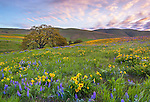 Columbia Hills State Park, WA: Columbia Gorge National Scenic Area, Sunrise in the Columbia Hills with a Garry oak (Quercus garryana) and scattered balsamroot and lupine.