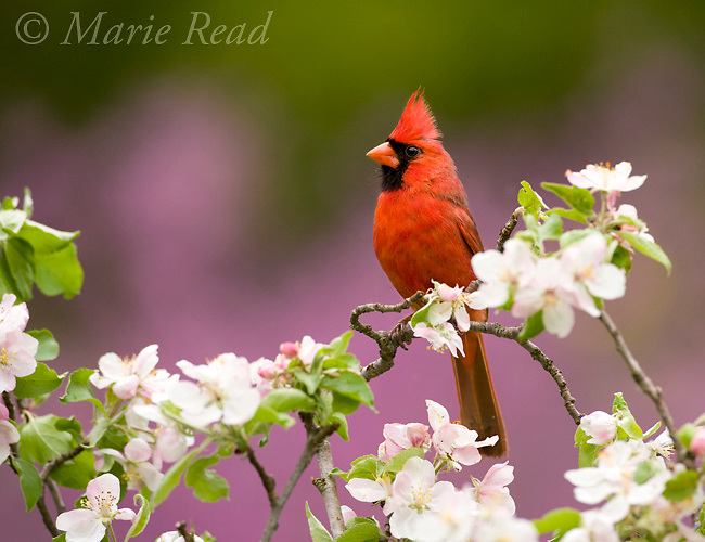Northern Cardinal (Cardinalis cardinalis), male perched amid apple blossom, New York, USA