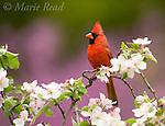 Northern Cardinal (Cardinalis cardinalis), male perched amid apple blossom, New York, USA