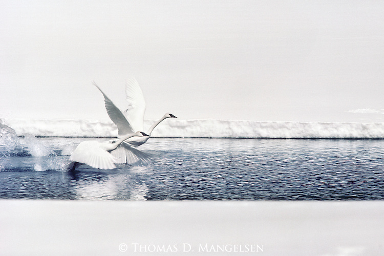 A trumpeter swan pair makes their way to the open water of Oxbow Bend.