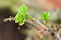 New spring leaves emerging on redcurrant 'Jonkheer van Tets', mid March.