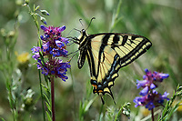 Western Tiger Swallowtail on a Small Flowered Penstemon