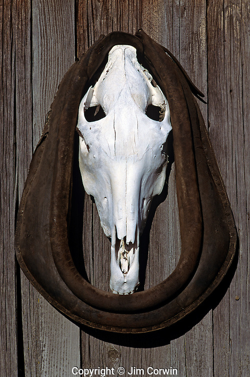 Horse skull on side of building in the ghost town of Shaniko Central Oregon State USA