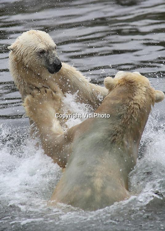 Foto: VidiPhoto<br /> <br /> RHENEN - De ijsberen Freedom en Viktor van Ouwehands Dierenpark in Rhenen zijn na een scheiding van drie jaar, donderdag weer herenigd. De laatste drie jaar hebben Freedom en Viktor elkaar alleen maar kunnen horen en ruiken in aparte verblijven. IJsberen worden van elkaar gescheiden zodra er jongen zijn, om te voorkomen dat het mannetje de kleintjes iets aandoet. Freedom heeft in 2010 haar laatste twee jongen grootgebracht en die zijn nu verhuisd naar andere Europese dierentuin. Tijd dus voor een nieuwe poging om Freedom zwanger te krijgen. Ouwehands is een van de meest succesvolle dierentuin in Europa voor het fokken van deze bedreigde diersoort. Foto: De vereniging resulteerde direct in een amicale stoeipartij.