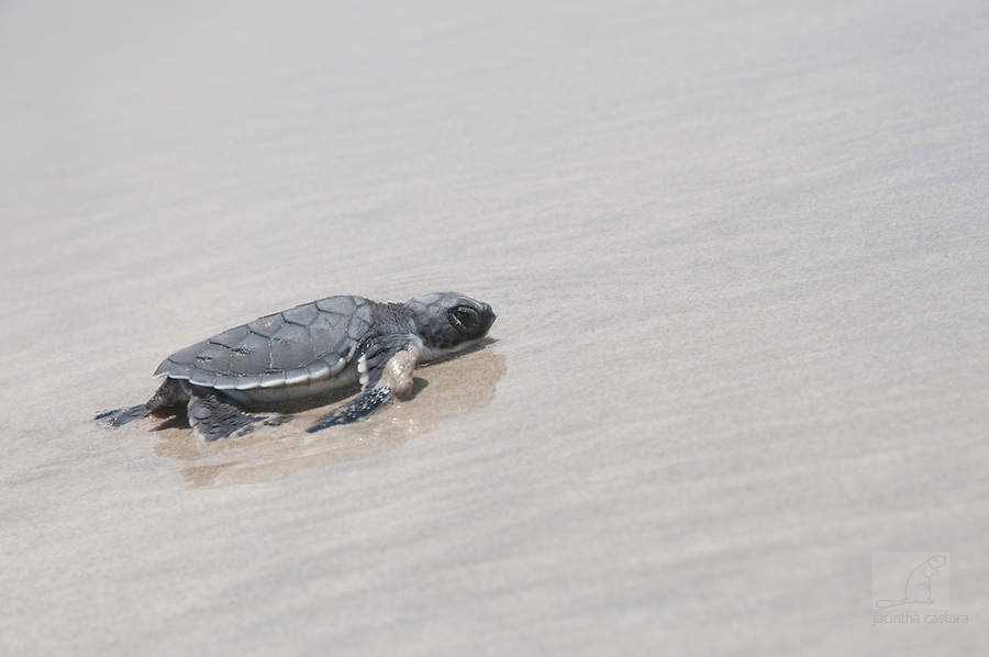 this baby turtle was exhausted before it reached the sea. It started swimming, but immediately it was pushed back on the beach by the tide. It had to start over agian walking. Poor thing.