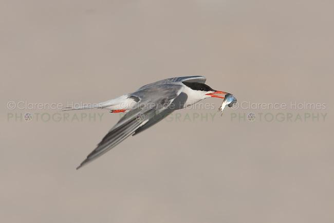 Common Tern (Sterna hirundo) with fish, Nickerson Beach, Lido Beach, NY