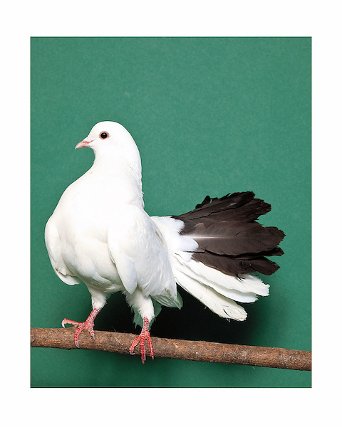 Black Fantailed pigeon