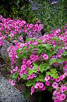 Pink petunias, Supertunia 'Vista Bubblegum' mixed with Peppermint scented geranium (Pelargonium tomentosum) and thyme in backyard organic raised bed garden