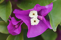 Bougainvillea (Bougainvillea glabra), Garden Flower, blooming, Oberaegeri, Switzerland, August 2006