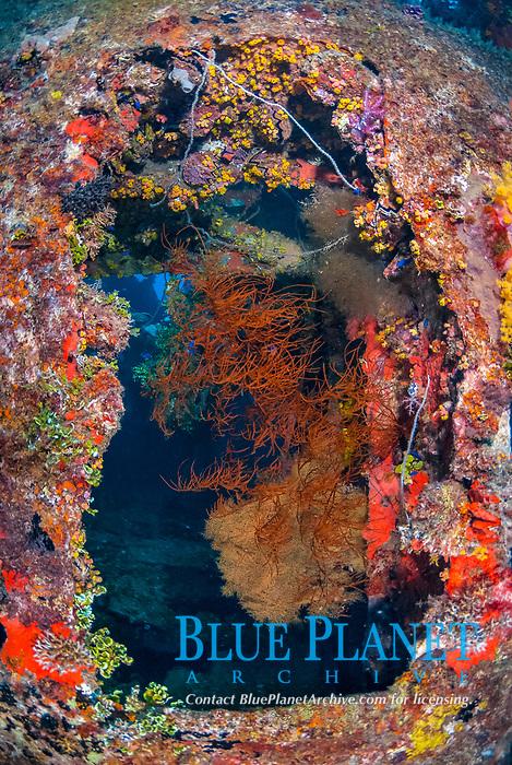 Black Coral, Anthipathes sp., Orange cup coral, Tubastraea coccinea, wire coral, Cirrhipathes sp., Zigzag oyster, Cock's Comb Oyster, Lopha cristagalli,  Coralline Alga, Halimedia discoidea, Neon Damselfish, Pomacentrus coelestis, Operation Hailstone, Wreck, WWII, Japanese shipwreck, Fujikawa Maru, Truk, Chuuk Lagoon, Micronesia, Pacific Ocean