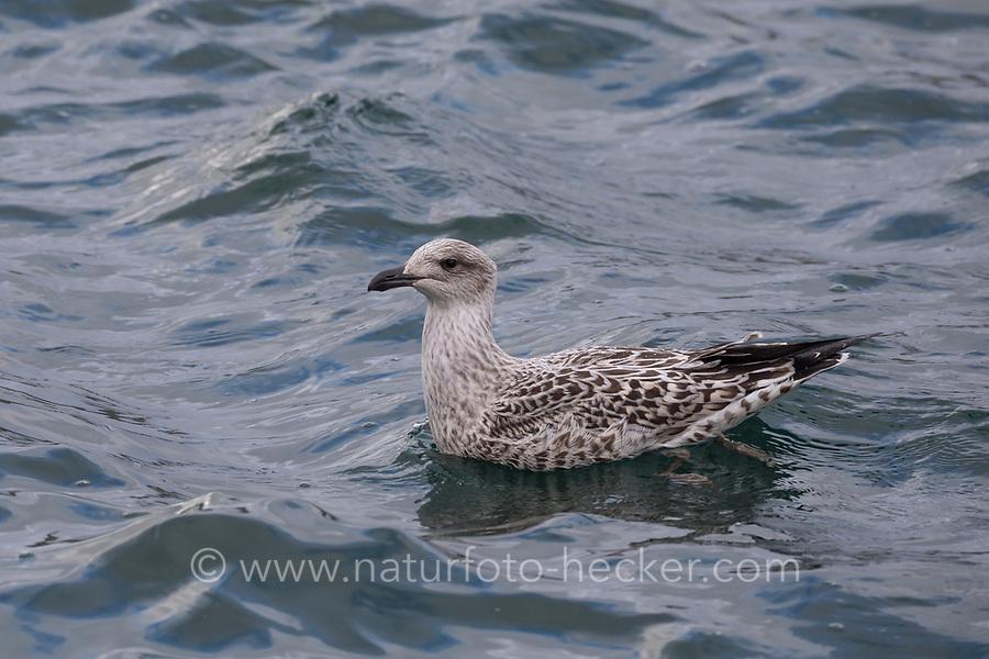 Mantelmöwe, Jungvogel, juvenil, Mantel-Möwe, Möwe, Möwen, Mantelmöve, Larus marinus, great black-backed gull, gull, gulls, Le Goéland marin