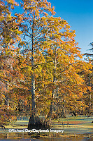 63895-14219 Baldcypress trees in fall, Horseshoe Lake State Fish and Wildlife Areas, Alexander Co., IL