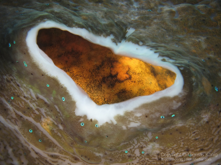 Ngerchong Drop-Off, Palau -- Close-up of the mantle opening of a giant clam.