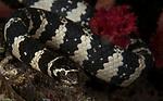 Banded Sea Krait, Laticauda colubrina, a species of venomous sea snake found in tropical Indo-Pacific oceanic waters