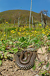 A Whip Snake (Hierophis viridiflavus) basking in the spring sunlight, Italy.