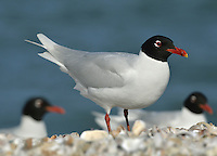 Mediterranean Gull Larus melanocephalus - Summer Adult. L 36-38cm. Similar to Black-headed but has stouter bill; adult has uniformly pale wings. Sexes are similar. Adult in summer has pale grey back and wing coverts, and white flight feathers. Note black hood and white 'eyelids'; bill is mainly red, with yellow tip and black sub-terminal band. Legs are deep red. In winter, loses dark hood; whitish head has menacing look created by dark smudges. Juvenile has grey-brown upperparts with pale margins to back feathers. Note darkish flush on breast. Bill and legs are dark; tail has dark terminal band. 1st winter bird is similar to juvenile but with plain grey back and dark smudges on head. Adult plumage is acquired by 3rd winter. 2nd year bird resembles adult (at respective times of year) but with variable black in wingtips. Voice Utters cow-cow-cow call. Status Very locally common, usually with Black-headeds. Small numbers nest in S England. More widespread outside breeding season.