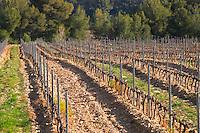 View over the vineyard in spring, vines in Cordon Royat training. Mourvedre Domaine de la Tour du Bon Le Castellet Bandol Var Cote d'Azur France