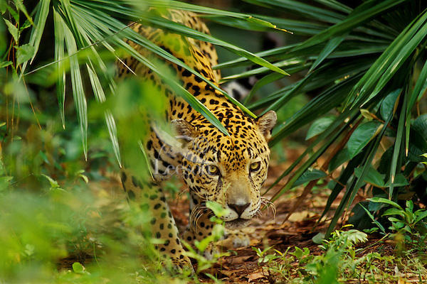 Jaguar in Central American tropical rainforest.