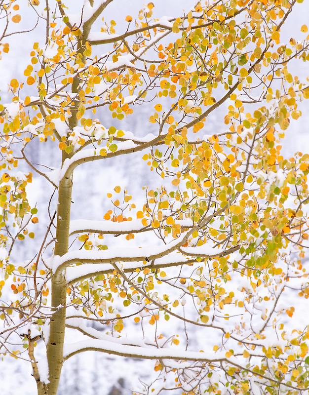 Close up of snow and fall colored aspen. San Juan Mountains near Red Mountain Pass, Colorado