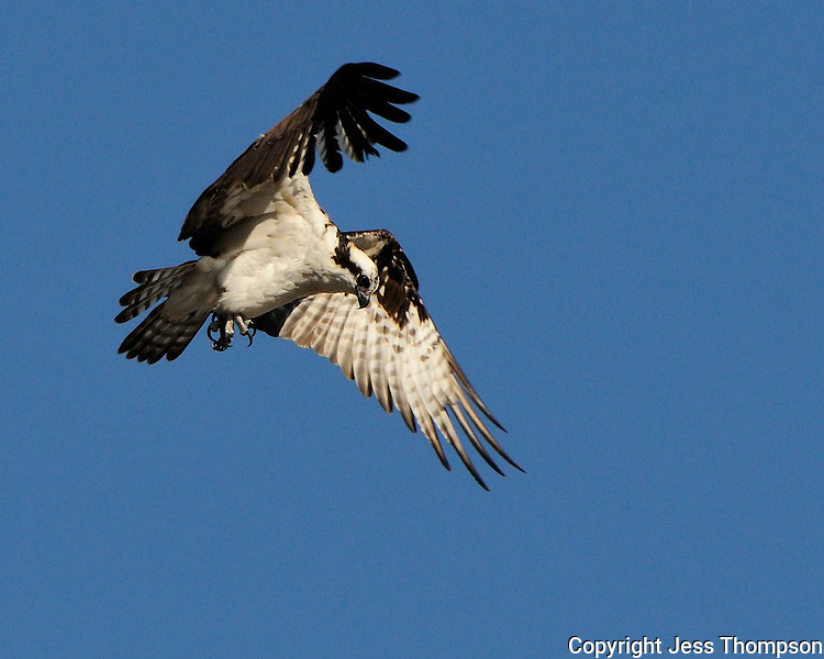 Ospreys hovering over fish.
