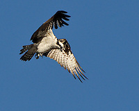 Ospreys hovering over fish.