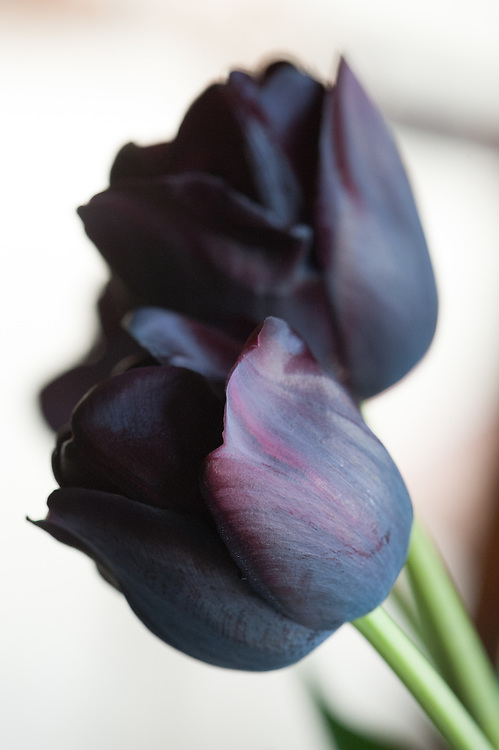 Purple-black tulip 'Queen of Night', early May. Single Late Group