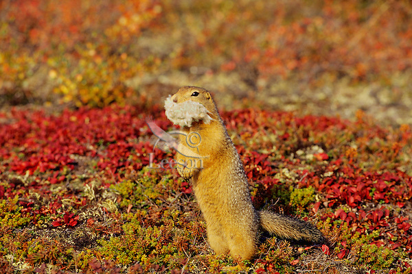 Arctic ground squirrel (Urocitellus parryii) or Sik-Sik (Spermophilus Parryii) with insulation it has taken from cabin for its own winter nest.