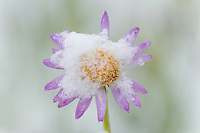 Subalpine daisy/fleabane (Erigeron peregrinus) covered by summer snowstorm at about 10,000 foot elevation in the Beartooth Mountains of Wyoming.  July.