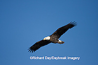 00807-035.08 Bald Eagle (Haliaeetus leucocephalus) in flight over Mississippi River, Alton, IL
