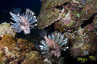 Lionfish, a non indigenous species in the Caribbean, inhabit a Bahama Islands Reef