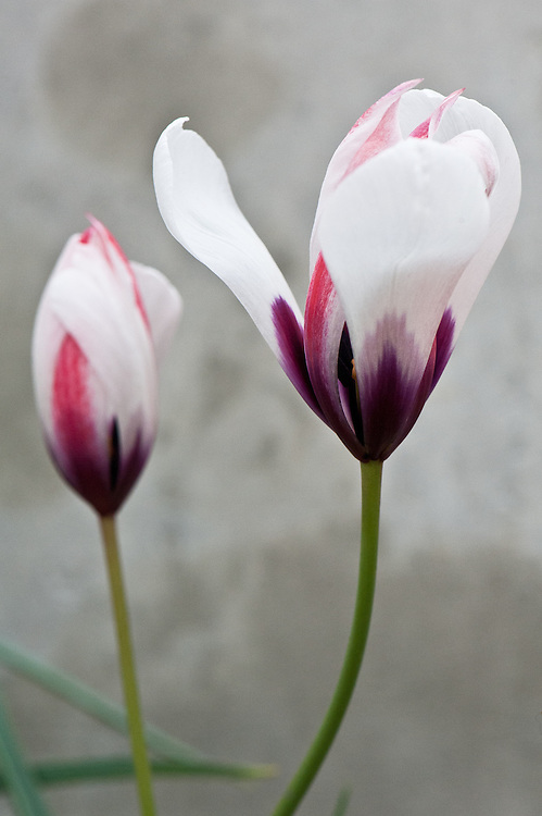 Tulipa aitchisonii var. clusianoides, glasshouse, late March. Sometimes referred to as a form of Tulipa clusiana. From Afghanistan.