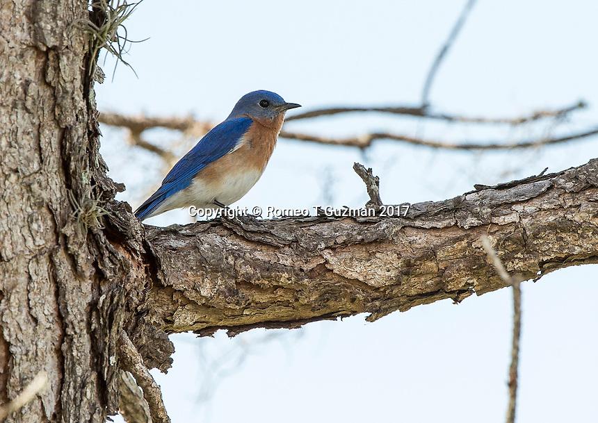 February 4, 2017: Eastern bluebird (Sialia sialis) Joe Overstreet Landing, Kenansville, FL