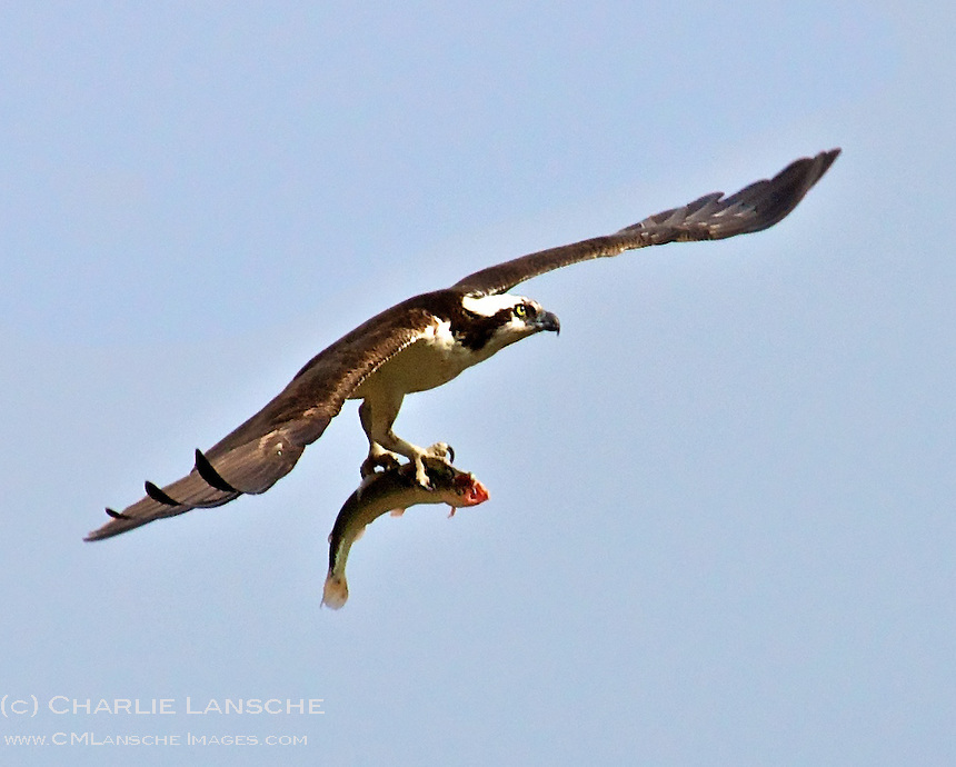 An osprey keeps a tight grip on a rainbow trout as it flies back to the nest.  Summit County, Utah.