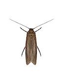 43.002 (0911)<br /> Scythris grandipennis