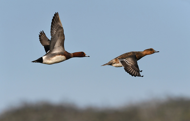 Wigeon - Anas penelope - left - male/right - female
