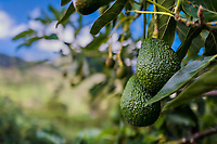 Green avocados are seen growing on a tree at a farm near Sonsón, Antioquia department, Colombia, 15 October 2019. Over the past decade, the Colombian avocado industry has experienced massive growth, both as a result of general economic development in Colombia, and the increased global demand for so-called superfood products. The geographical and climate conditions in Antioquia (high altitude, no seasonal extremes, high precipitation rate) allow two harvest windows of the Hass avocado variety across the year. Although the majority of the Colombian avocado exports are destined towards Europe now, Colombia aspires to become one of the major avocado suppliers to the U.S. market in the near future.