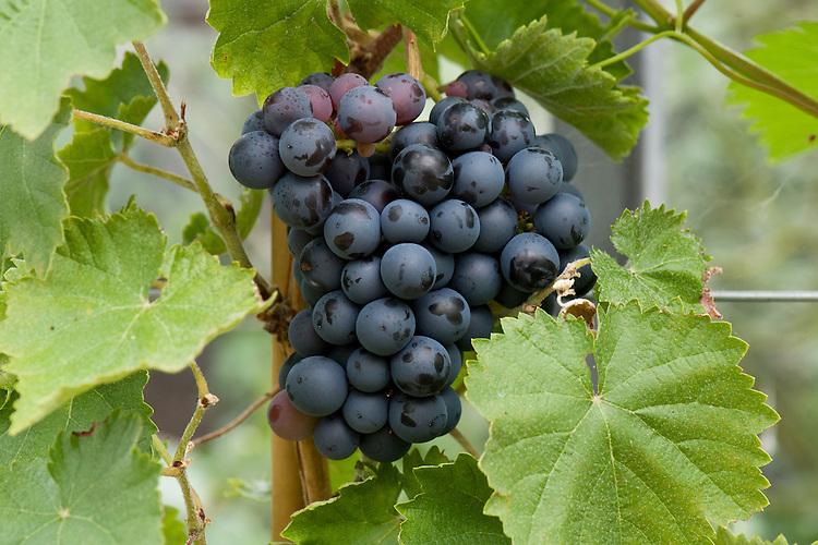 Grape 'Black Hamburgh' (syn. 'Schiava Grossa', 'Trollinger'), glasshouse, late SEptember.