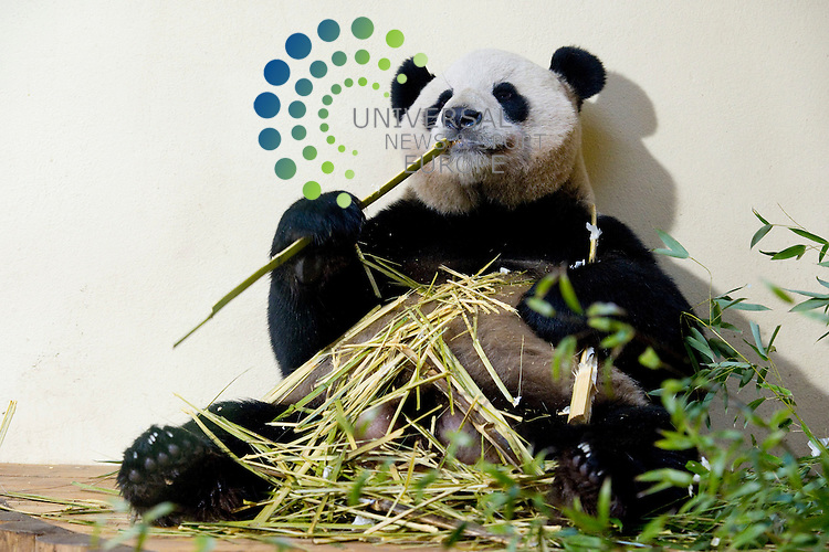 Just in time for Christmas Edinburgh Zoo's Giant Pandas  make an appearance online live on video, Edinburgh, Scotland. 23rd December, 2011. Male Panda Yang Guang eats..Picture:Scott Taylor Universal News And Sport (Europe) .All pictures must be credited to www.universalnewsandsport.com. (Office)0844 884 51 22.