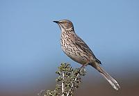 Thrashers and Mockingbirds