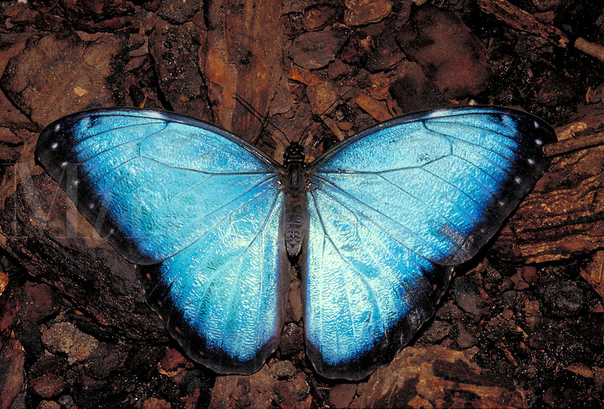 MORPHO PELEIDES,  Common Morpho Butterfly     subfamily - Morphinae;  family - Nymphalidae;  order - Lepidoptera;      class - Insecta;    phyllum - Arthropoda;     kingdom - Animalia. NEW ORLEANS LOUISIANA USA AUDUBON ZOO.