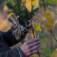 Ernte von Pappelknospen im Herbst für Räucherung, Räuchern. Strauss aus Fichte, Bireknrinde, Rainfarn, Kiefer für eine Räucherung. Balsampappel, Balsam-Pappel, Knospen, Knospe, Populus balsamifera, Populus tacamahaca, balsam poplar, bam, bamtree, eastern balsam-poplar, hackmatack, tacamahac poplar, bud, buds, tacamahaca, Le Peuplier baumier