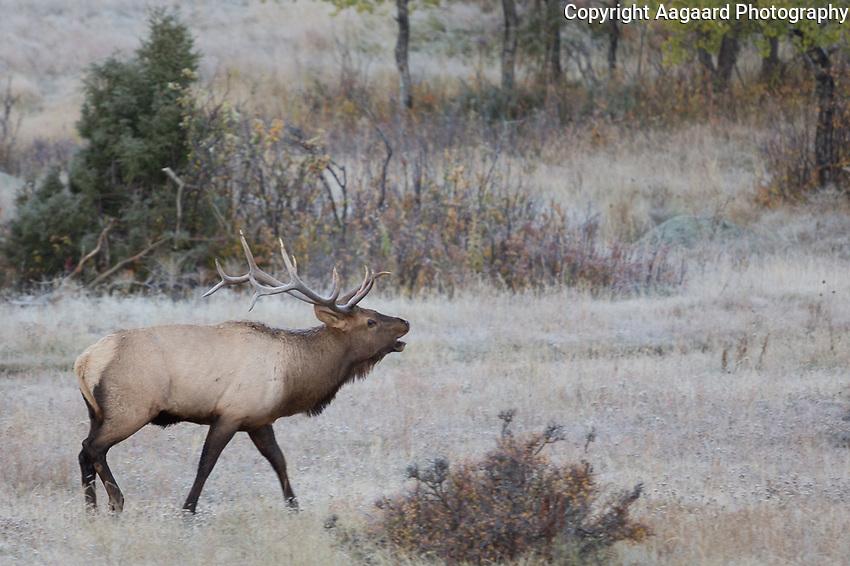Elk rut, Moraine Park, Rocky Mountain National Park