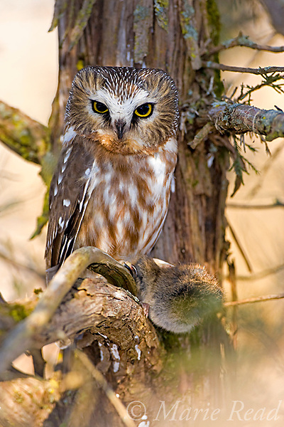 Northern Saw-whet Owl (Aegolius acadicus), adult with prey (vole), Amherst Island, Ontario, Canada