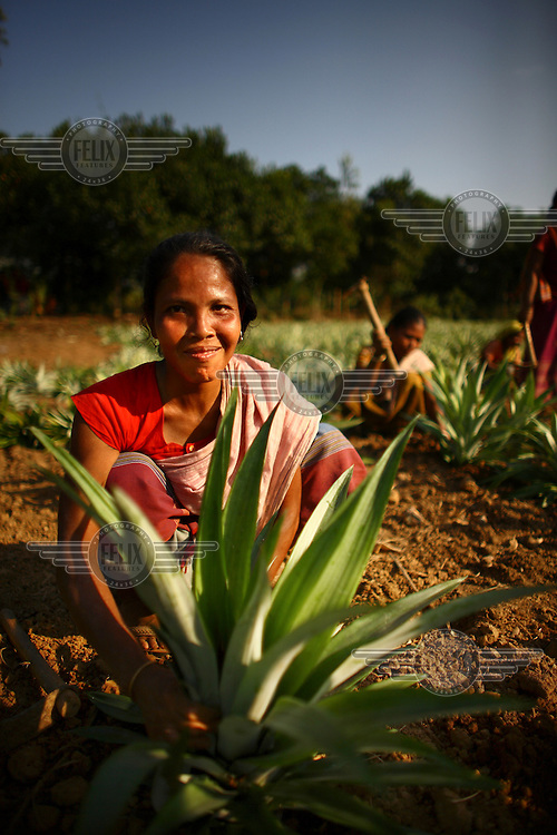 A Garo woman tends to a pineapple plant one of hundreds growing in a plantation. The Garo (or Mandi, as they refer to themselves) are an ethnic minority thought to be of Tibeto-Burmese origin. Prior to British rule they were mostly anamists but missionary work led the majority to convert to Christianity. The Garo of the Madhupur forest have long been under the threat of eviction by the government and the forest that they gain much of their livelihood from is being rapidly destroyed by unregulated logging.