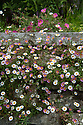 Erigeron karvinskianus, early June.