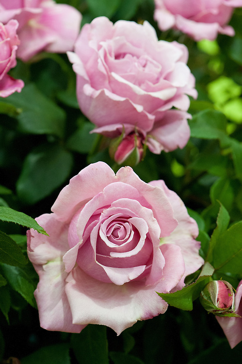Rosa Millie Rose ('Wekblunez'), early July. A highly scented, pink, Hybrid tea rose. Named after Camilla Rose Forbes.
