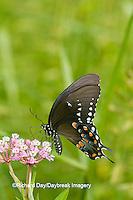 03029-01419 Spicebush Swallowtail butterfly (Papilio troilus) on Swamp Milkweed (Asclepias incarnata) Marion Co., IL