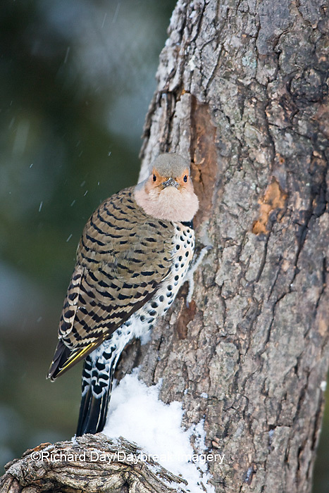 01193-01605 Northern Flicker (Colaptes auratus) male on dead tree in winter, Marion Co, IL