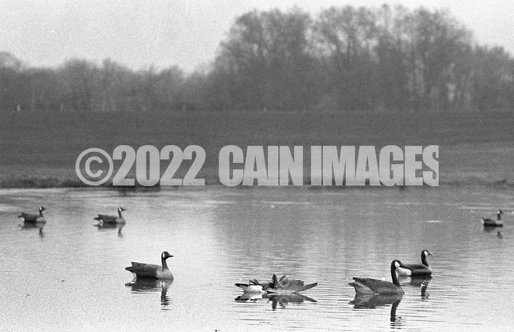 A goose lies in the pond after being shot by hunters as decoy geese float and bait the trap Saturday November 2, 1991 in Buckingham, Pennsylvania. (Photo by William Thomas Cain)