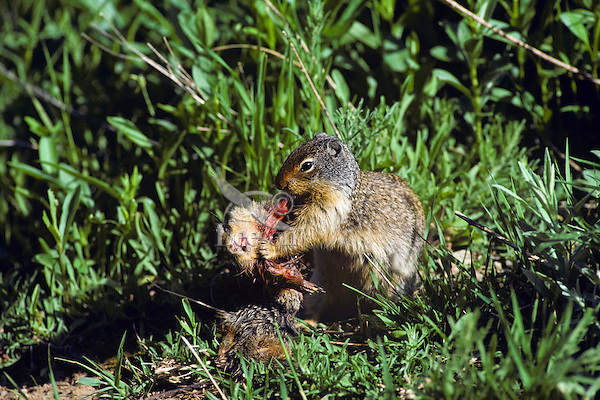 Image result for ground squirrel cannibalism